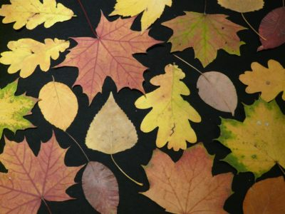 Leaf Sorting: Ages 10 - 12